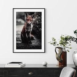 Poster/Konsttryck - Räv