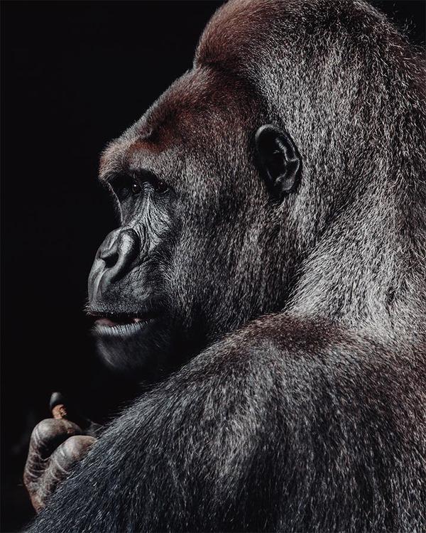 Poster/Konsttryck - Gorilla