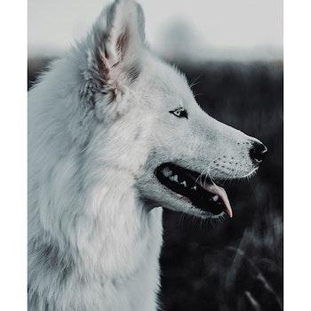 Poster/Konsttryck - Vit hund