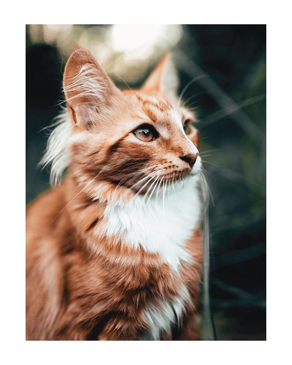 Poster/Konsttryck - Katt