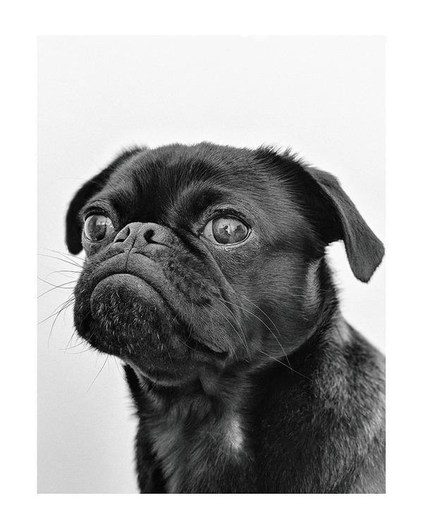 Poster/konsttryck - Pug