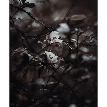 Poster/Konsttryck - Trädblommor