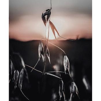 Poster/Konsttryck - Solnedgång m. blomma