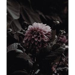 Poster/Konsttryck - Dahlia
