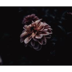 Poster/Konsttryck - Blomma m svart.