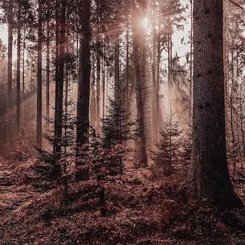 Poster/Konsttryck - Sol i Skogen