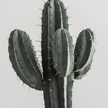 Poster/Konsttryck - Kaktus
