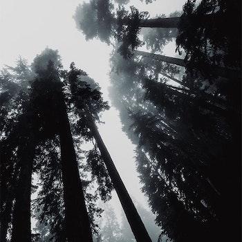 Poster/Konsttryck - Höga Träd