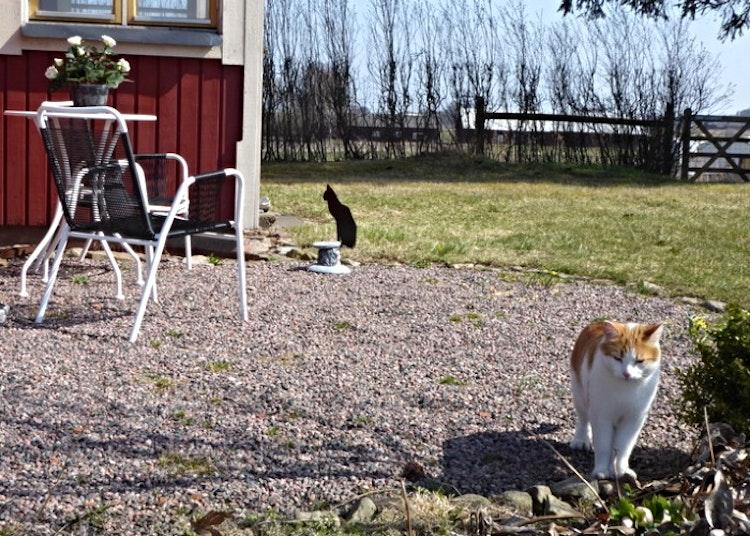 En vanlig katt och en katt i plåt som gör trädgården lite finare.