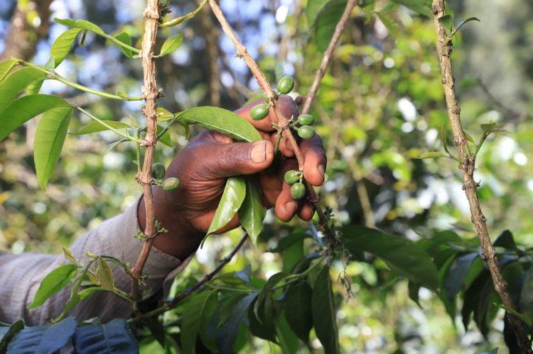 Kenya Washed AA Top -Kiamwangi, Traceability, 1kg