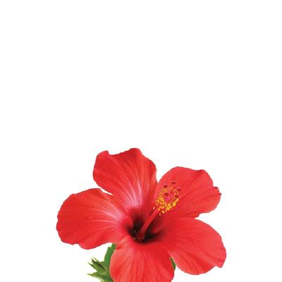 Tfa - Hibiscus