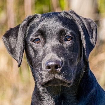 Labrador 1