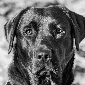 Labrador 3 S/Hv