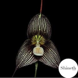 Dracula-vampira orkidé ifrån Shineth-Trading