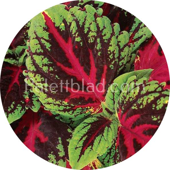 Kong Red 5 frön