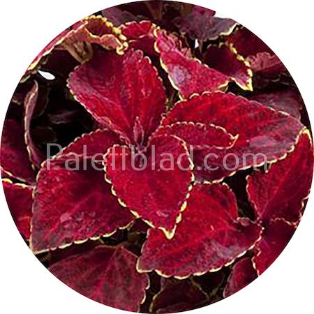 Fairway Red Velvet 10 frø