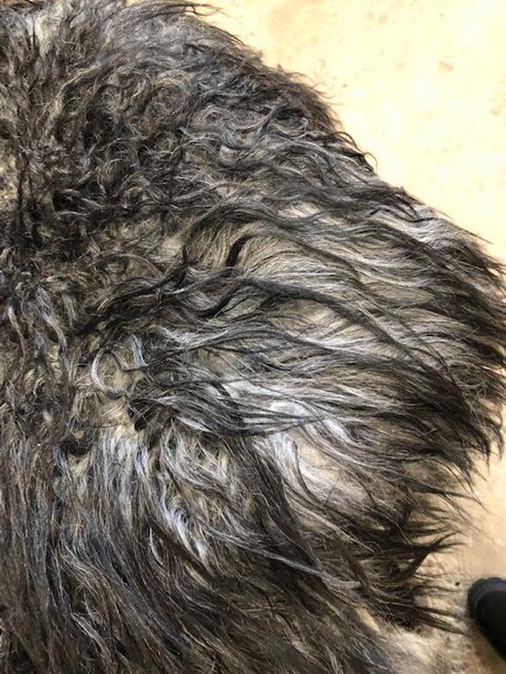 Isländskt fårskinn grå melerad