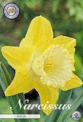 """Kopia Narcissus Trumpet """"Avalon"""", 5 st./förpack."""