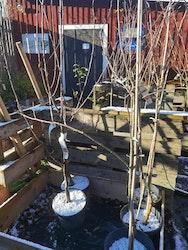 Apistar, äppelträd
