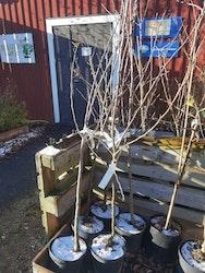 Mutsu, äppelträd