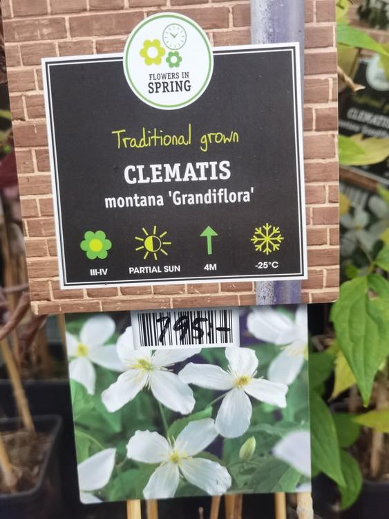 Grandiflora, klematis