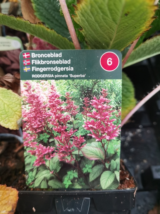 Fingerrodgersia