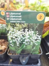 Liljkonvalj
