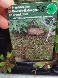 Bronskotula