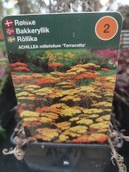 Röllika, orange