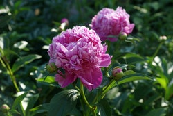 Luktpion, rosa