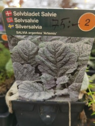 Silversalvia