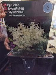 Plymspirea