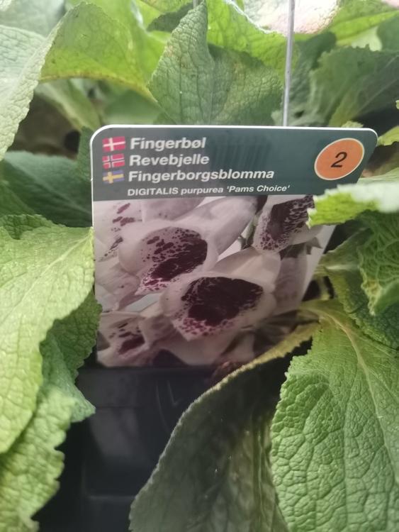 Fingerborgsblomma