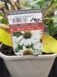 """Solhatt, Echinacea p. """"Delicious Nougat"""""""