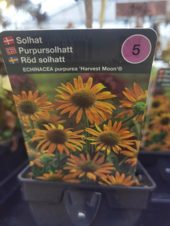 "Solhatt, Echinacea p. ""Harvest Moon"""