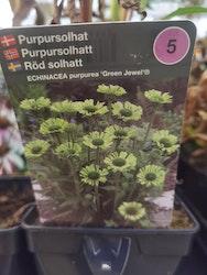 """Solhatt, Echinacea p. """"Green Jewel"""""""