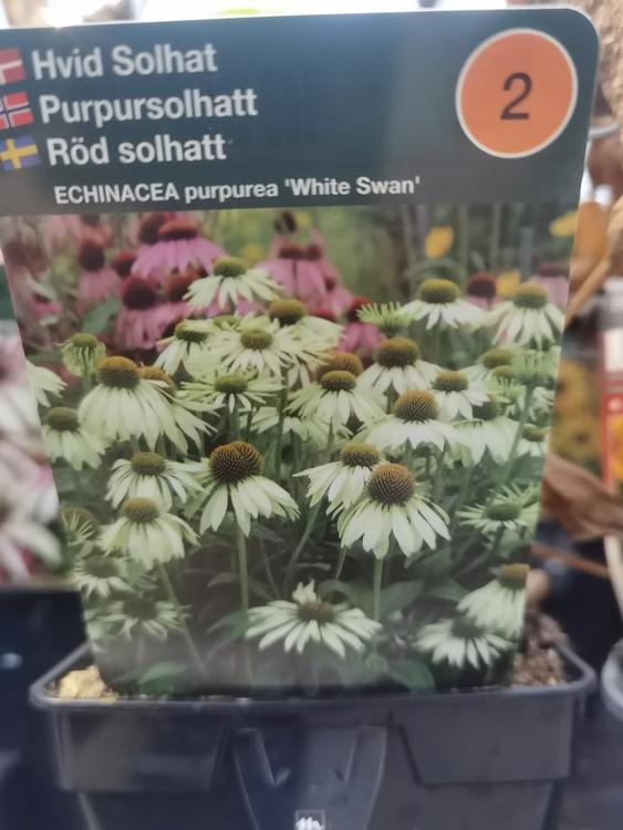 "Solhatt, Echinacea p. ""White Swan"""