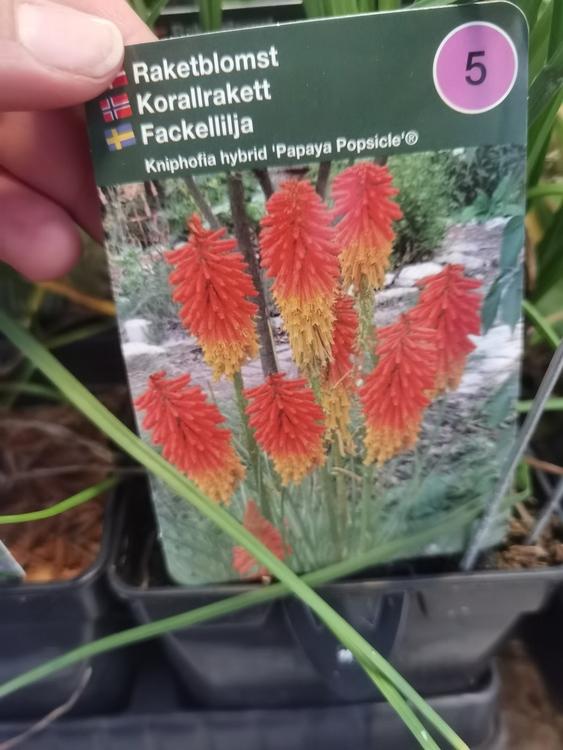 "Fackellilja, Kniphofia h. ""Papaya Popsicle"""