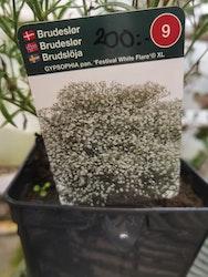 "Brudslöja XL, Gypsophila pan. ""Festival White Flare"""