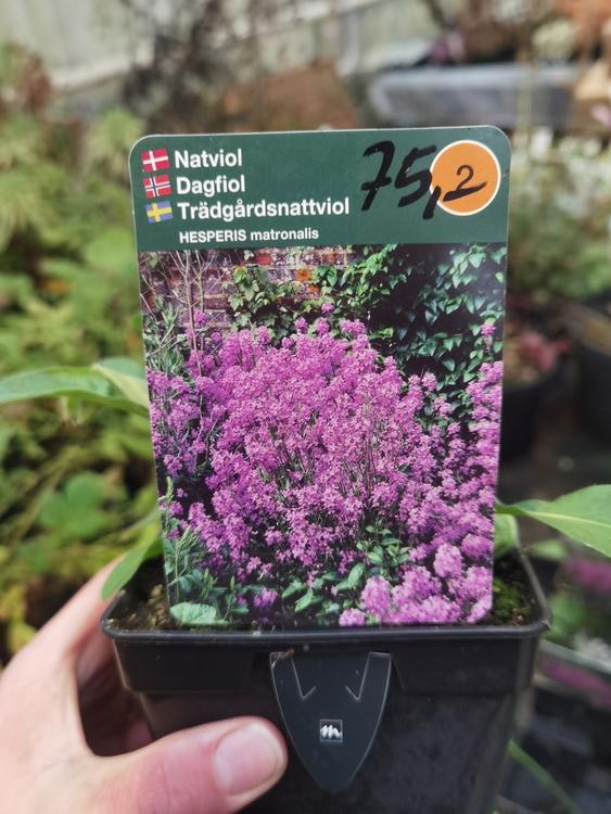 Trädgårdsnattviol, Hesperis matronalis
