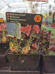 Flerårig Stockros, Alcea ficifolia