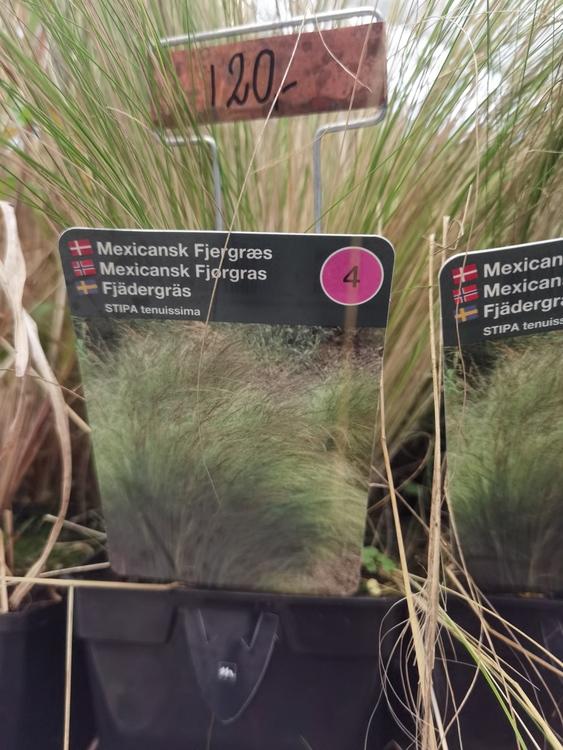 Fjädergräs, Stipa tenuissima