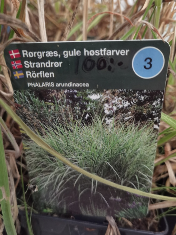 Rörflen, Phalaris arundinacea