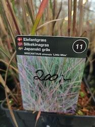 """Japansk gräs, Miscanthus s. """"Little Miss"""""""