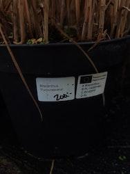 """Japanskt gräs, Miscanthus """"purpurascens"""""""
