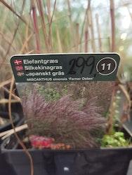 """Japanskt gräs, Miscanthus s. """"Ferner Osten"""""""