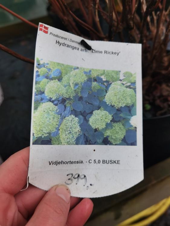 """Vidjehortensia, Hydrangea arb. """"Lime Rickey"""""""