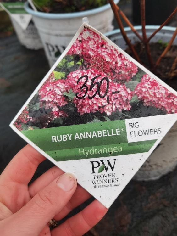 "Vidjehortensia, Hydrangea arb. ""Ruby Annabelle"""