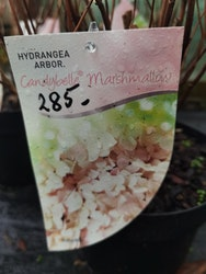"Vidjehortensia, Hydrangea arb. ""Candybelle Marshmallow"""
