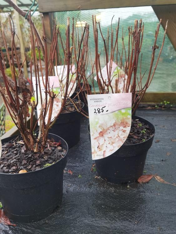 "Vidjehortensia, Hydrangea arb. ""Candybelle Marshmallow"""